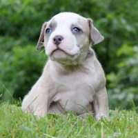 Male American Bully Puppy American Pit Bull Terrier for sale/adoption