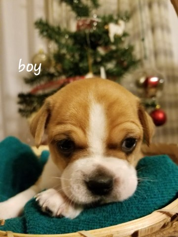 Boston Terrier Puppy Dog For Sale In Lima Ohio