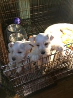 Snow Babies ready for a new home before Christmas! Miniature Schnauzer for sale/adoption