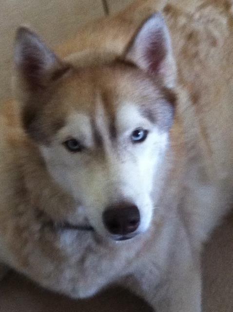 Siberian Husky Puppy Dog For Sale In North Canton Ohio
