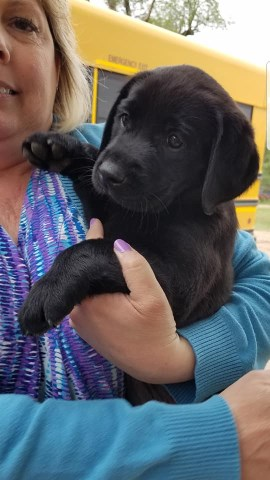 Labrador Retriever puppy for sale + 56415