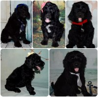 Labradoodle Puppies Labradoodle for sale/adoption
