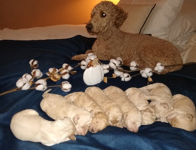 Goldendoodle Puppy Dog For Sale In Zebulon North Carolina