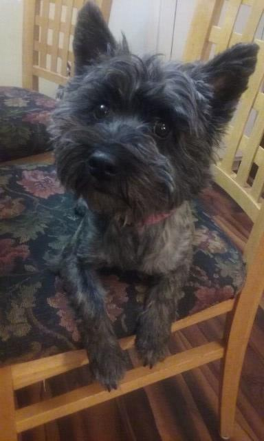 Cairn Terrier puppy dog for sale in Cleveland, Ohio