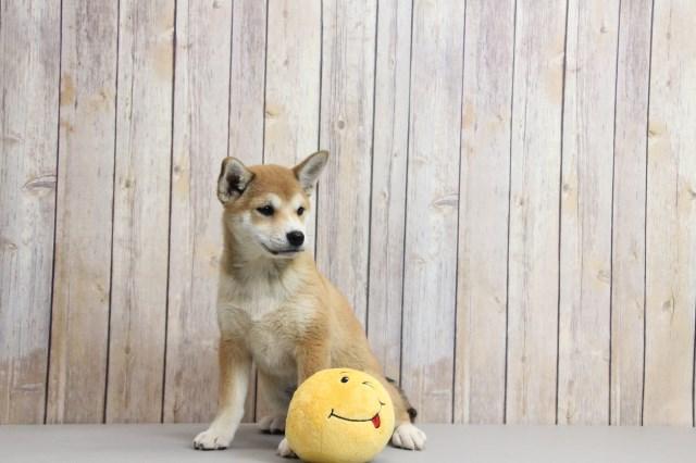 Shiba Inu Puppy Dog For Sale In Wheelersburg Ohio