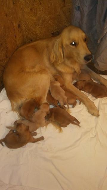 Golden Retriever Puppy Dog For Sale In Stanley Virginia