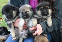 German Shepherd Puppies German Shepherd Dog for sale/adoption