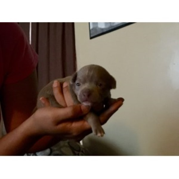 Male Grey 3 Week Chihuahua Pup. Chihuahua for sale/adoption