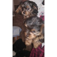 Beautiful Yorkie Puppies Ready For A New Home!!!!! Yorkshire Terrier for sale/adoption