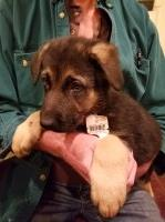 Akc registered German Shepherd puppies German Shepherd Dog for sale/adoption