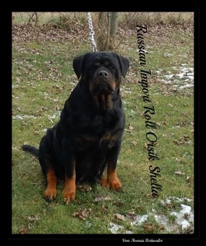 Rottweiler puppy dog for sale in Dayton, Ohio