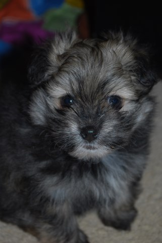 Portuguese Water Dog Puppies For Sale Wisconsin
