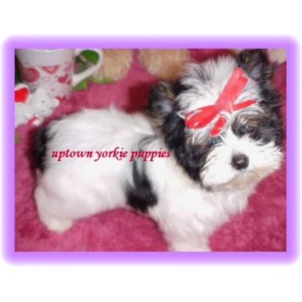 AKC Teacup Yorkie Puppy For Sale