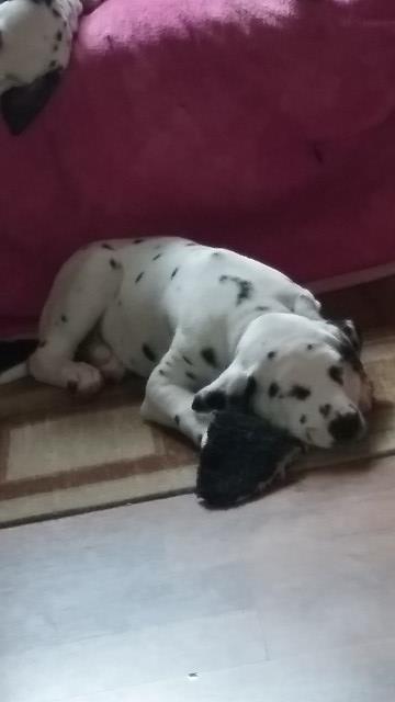 Dalmatian puppy dog for sale in Michigan USA