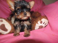 Carry Beautiful Girl Tiny Toy Yorkshire Terrier for sale/adoption