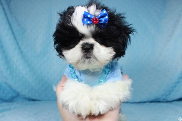 Shih Tzu Puppy Dog For Sale In Las Vegas Nevada
