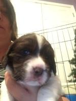 English Springer Spaniel Dogs and Puppies for Adoption