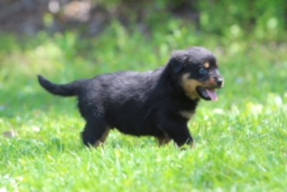 Rottweiler Puppy Dog For Sale In Nashville Tennessee
