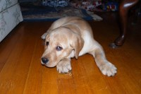 Labrador retriever puppies for sale Labrador Retriever for sale/adoption
