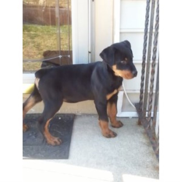 Rottweiler Puppy Dog For Sale In Capitol Heights Maryland