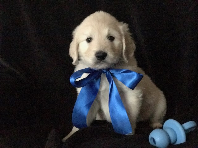 Goldendoodle Puppy Dog For Sale In Martin Michigan