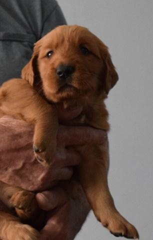 Golden Retriever Puppy Dog For Sale In Pandora Ohio