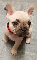 French Bulldog Puppies And Dogs For Sale In New Mexico