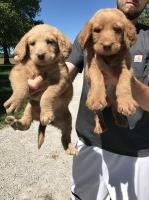 F1 Labradoodles Labradoodle for sale/adoption