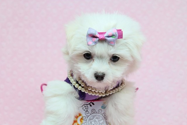 Maltipoo puppy for sale + 56527