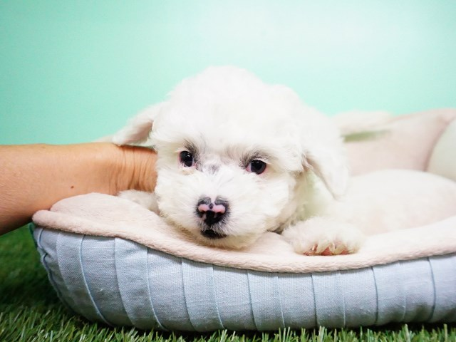 Maltipoo Puppy – Male- Gumbo ($1,299)