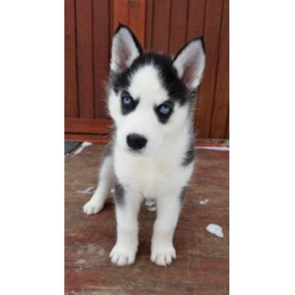Blue Eyed Husky Puppys Ready Mid August