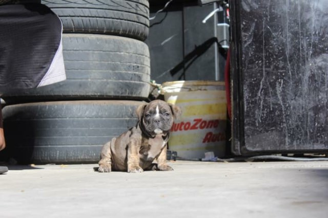 American Staffordshire Terrier puppy dog for sale in Las