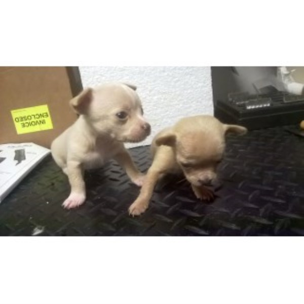 Chihuahuas Two Litters To Choose From Chihuahua for sale/adoption