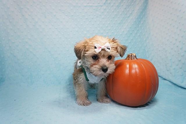 Morkie Puppy Dog For Sale In Costa Mesa California