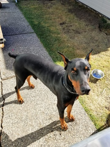 Doberman Pinscher puppy dog for sale in Sacramento, California