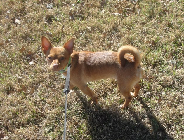 Chihuahua puppy for sale + 48178