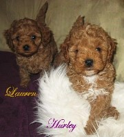 Cavapoo poo Puppies are Coming Soon !!! Cavalier King Charles Spaniel for sale/adoption