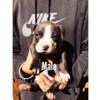 American pitbull bully American Pit Bull Terrier for sale/adoption