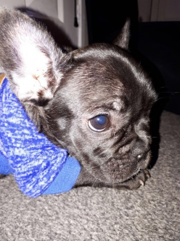 French Bulldog puppy dog for sale in Melbourne, Florida