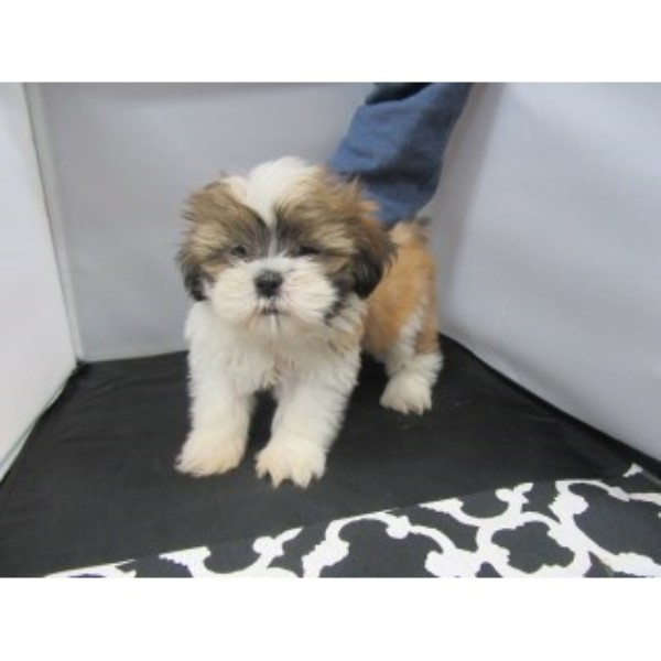 Adorable Shih Tzu-male-bruce