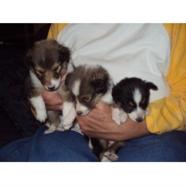 We Have 3 Shellie Puppies For Sale Shetland Sheepdog for sale/adoption