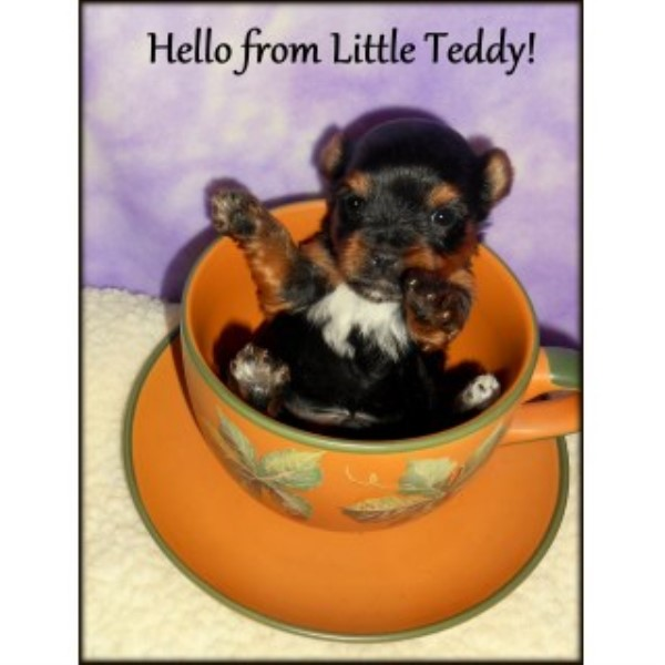Adorable Small AKC Yorkie Puppies For Sale