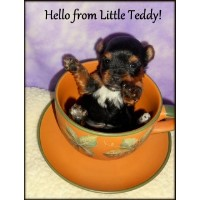Adorable Small AKC Yorkie Puppies For Sale Yorkshire Terrier for sale/adoption
