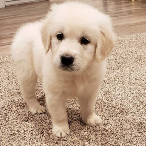 Golden Retriever puppy for sale + 61187