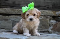 Yorkshire Terriers and other toy breeds Yorkshire Terrier for sale/adoption