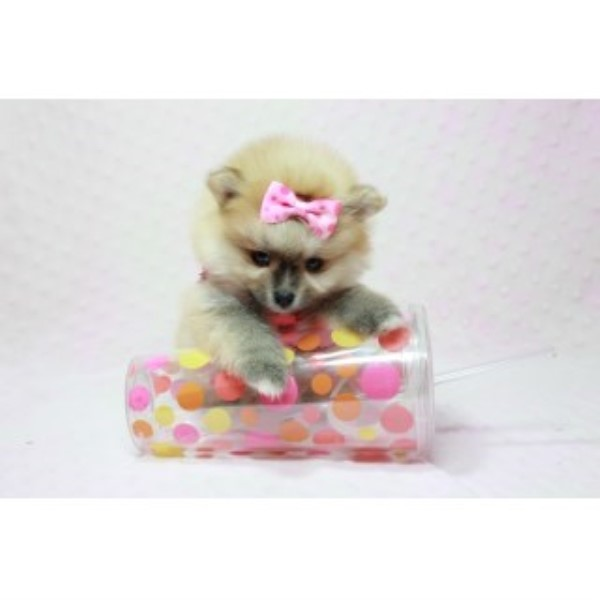 Pomeranian Puppy Dog For Sale In Burlington Vermont