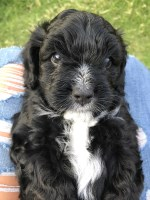 Kingston - Sweet male Cavapoo Puppy Cavalier King Charles Spaniel for sale/adoption