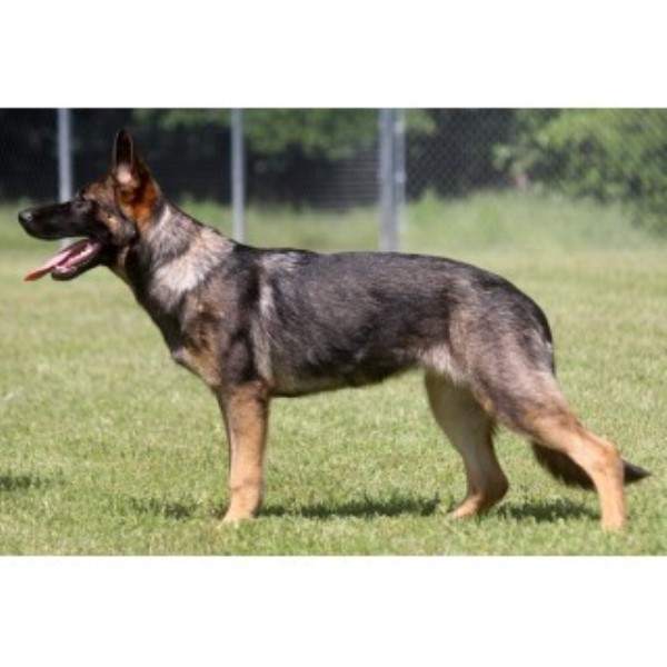 6 Month Old Sable Female