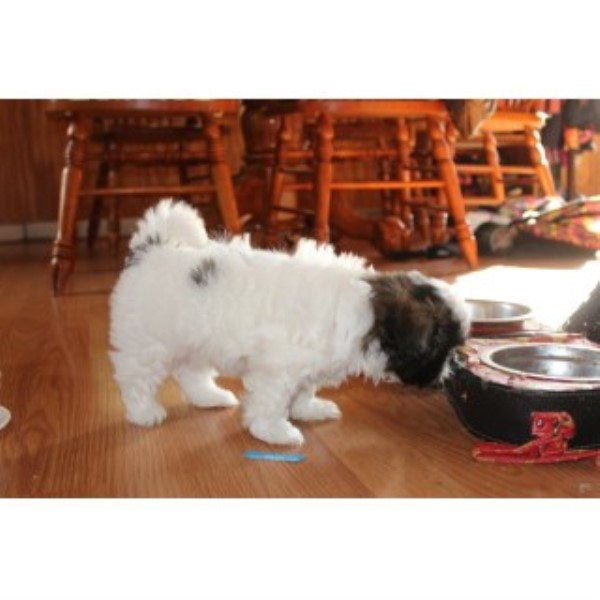 Shih Tzu - Female - Aca Registered