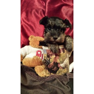 Chocolate T- Cup & Toy & Chocolate Parti Toy Mini Schnauzer Pups!